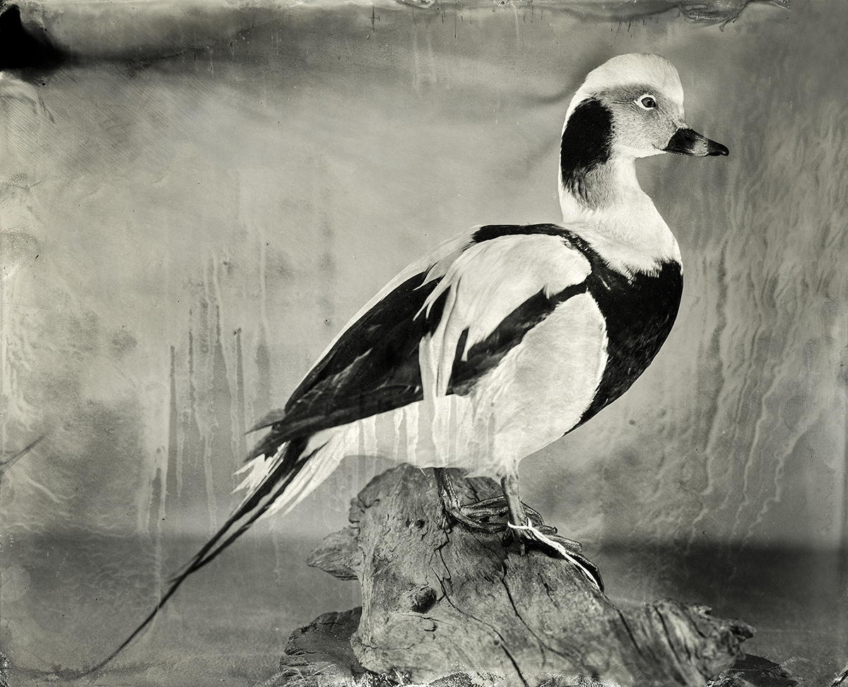 Long-tailed Duck, 2018, 8x10 Tintype