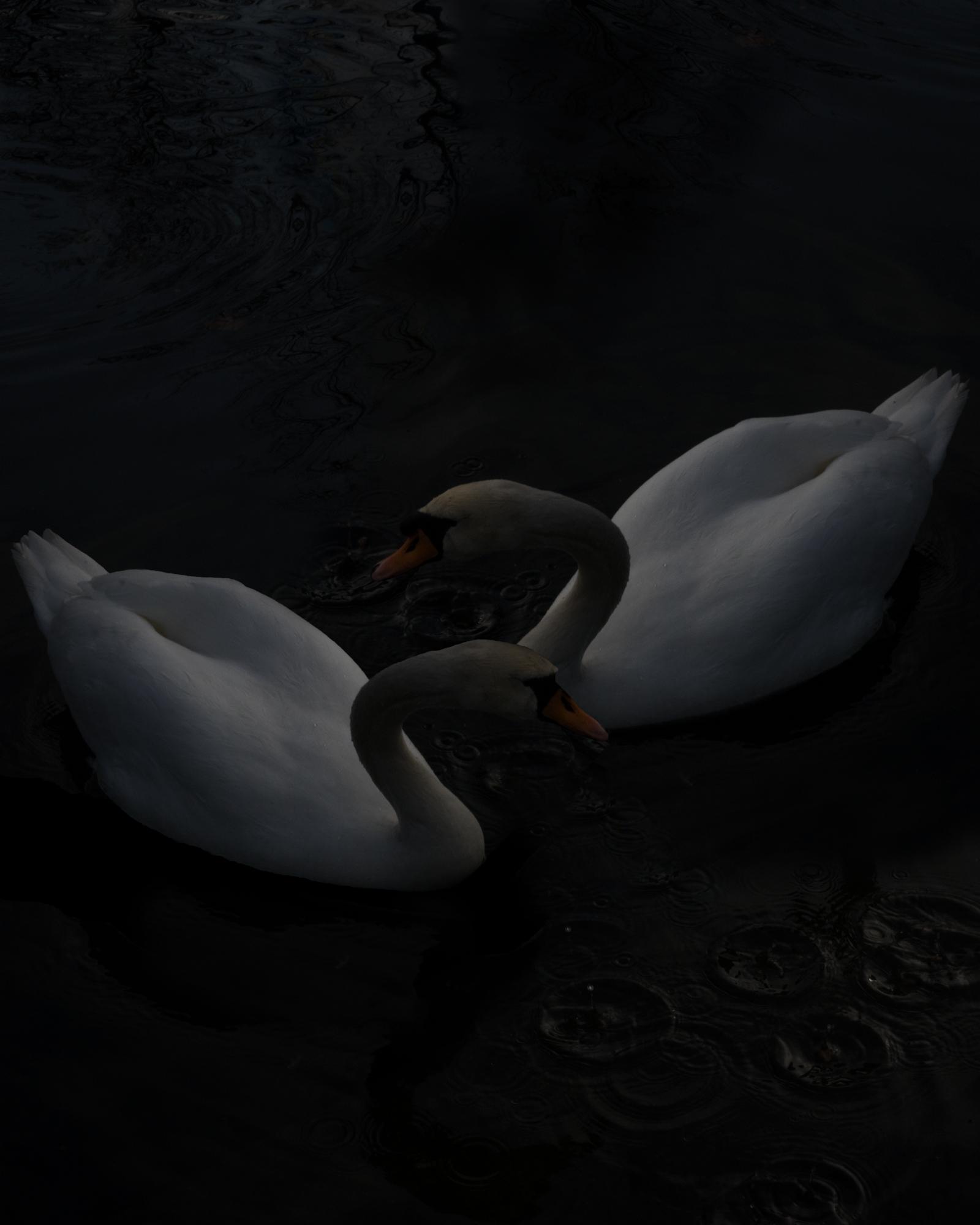 Swans, 2017, Archival Pigment Print, 16x20